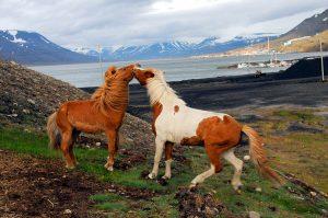 SvalbardHorses04
