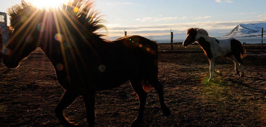 SvalbardHorses05