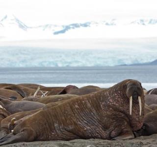 BM walrus 1