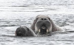 Tommy S Walrus