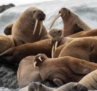 walrus Tommy S
